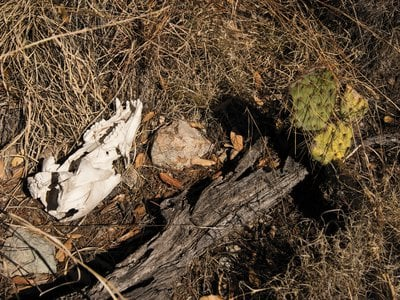 A sun-bleached skull is evidence of the first recorded jaguar predation on a black bear, linked to the big cat roaming this terrain.