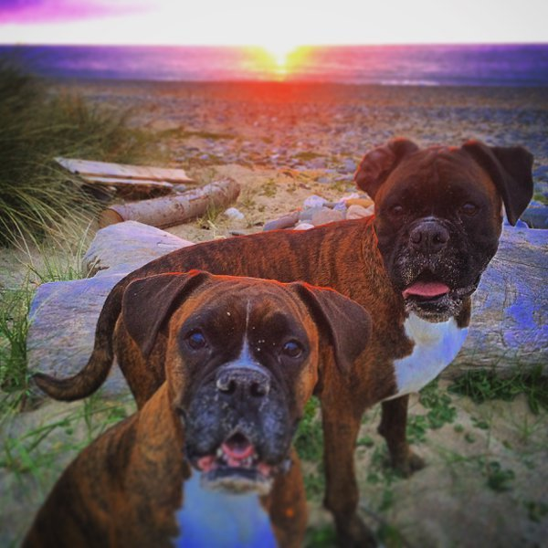 My doggies at Sunset on Smeale beach Isle of Man thumbnail