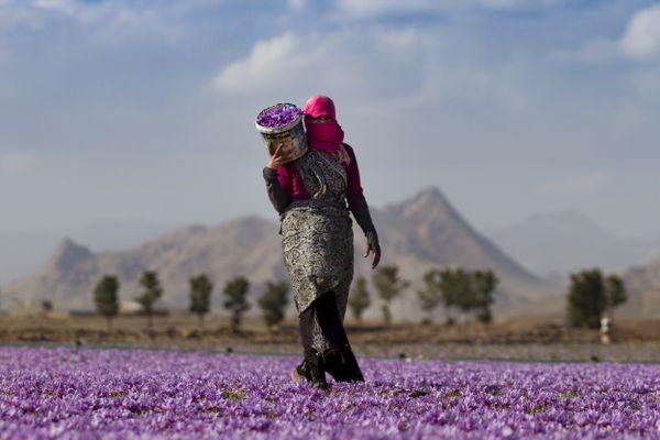 saffron farm thumbnail