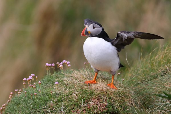 Atlantic Puffin on Staffa Island thumbnail