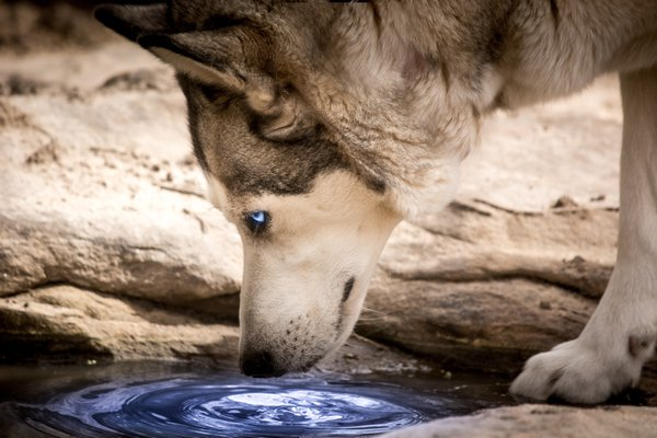 Husky drinking from a natural pool thumbnail