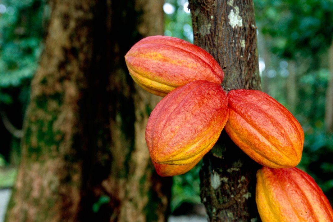 How to Save the Chocolate Tree Without Sacrificing Flavor