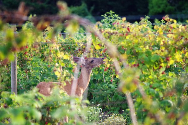 Deer in berry field thumbnail