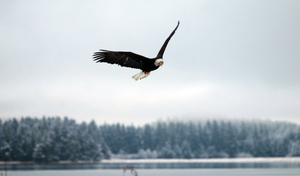 Bald Eagle Soars over the Gastineau Channel thumbnail