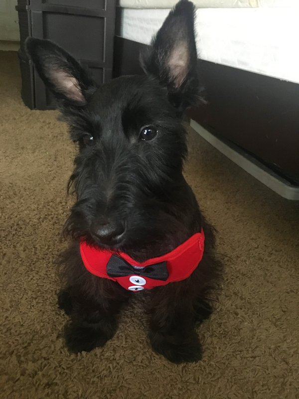 Dapper Scottie thumbnail