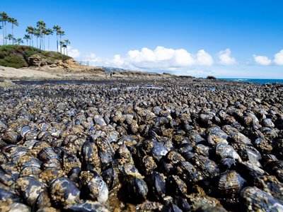 A healthy crop of mussels lines the coast, exposed during low tide. Mussels will split open when they overheat, such as in June's heat wave.