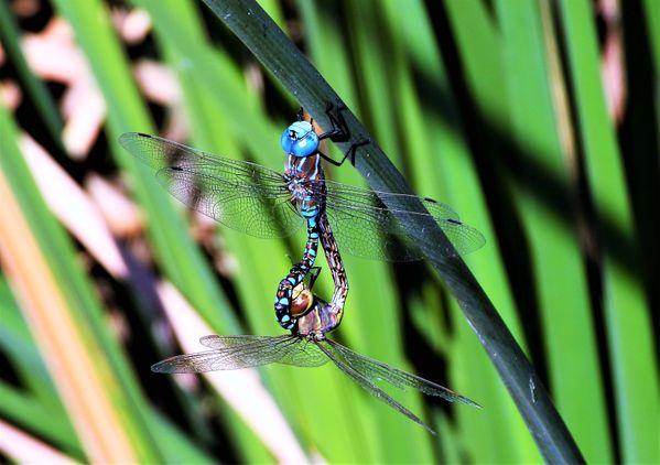 Dragonflies mating  Nikon Coolpix P1000 thumbnail