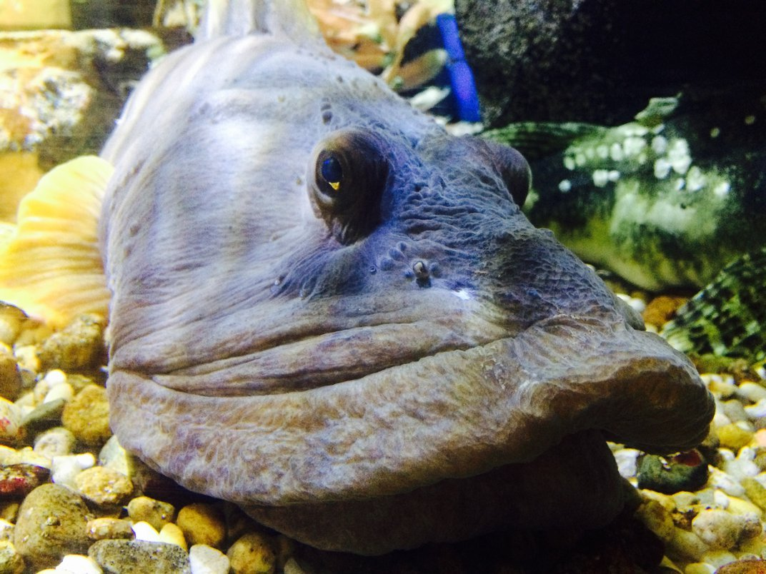 Blue ocean pout fish floating above brown gravel in a fish tank
