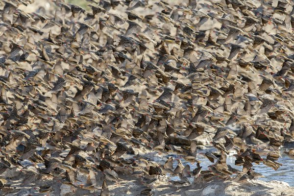Red-billed quelea symphony thumbnail