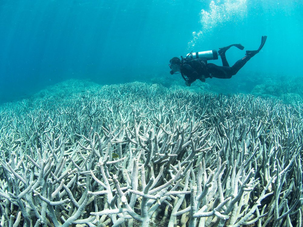 An underwater photo of a bleached coral reef. The branched, white corals stretch back halfway through the photo. A scuba diver dressed in a black wet suit is swimming above the dead reef.