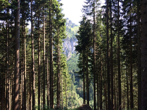 Evergreens in the Swiss Alps thumbnail