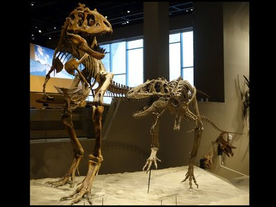 A mounted specimen of the type of tyrannosaur at the heart of new research that suggests these predators may have lived in groups. These skeletons are from a species named Teratophoneus curriei, and show an adult (left) and juvenile (right) at the Natural History Museum of Utah.