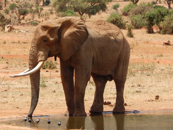 An elephant shares water with birds from a stagnant point in Tsavo National Park, Kenya. thumbnail