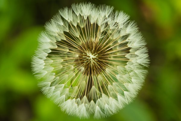 Dandelion in Seed thumbnail