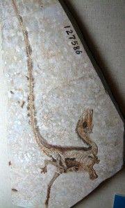 20110520083205Sinosauropteryxfossil-180x300.jpg