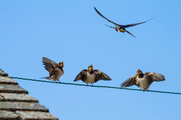 Birds on a wire - barn swallows waiting for food thumbnail