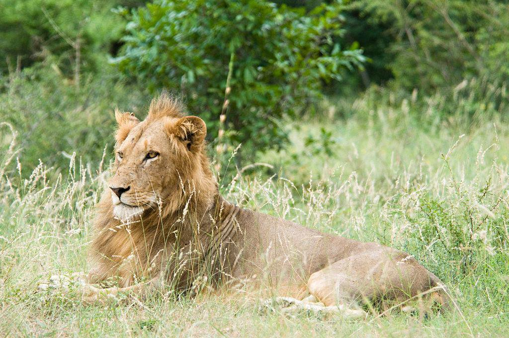 Zambia's Lions Roam Areas Previously Believed to Be Uninhabitable
