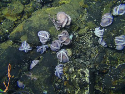 Up to 1,000 octopus moms care for their brood.