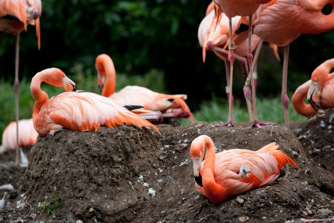 A flock of flamingos on nests made of mud that resemble mini volcanos. One flamingo in the foreground has a chick under its wings, others stand in the background.