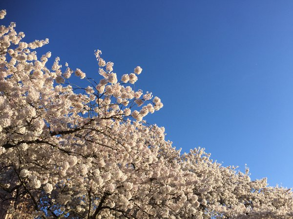 Cherry Tree Blossoms thumbnail