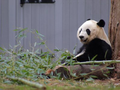 The Panda Cams had to be turned off during the shutdown and so for the past month, the crown jewel of the National Zoo has been hidden from the public.