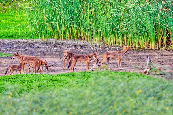 Galveston Canid Family Howl thumbnail