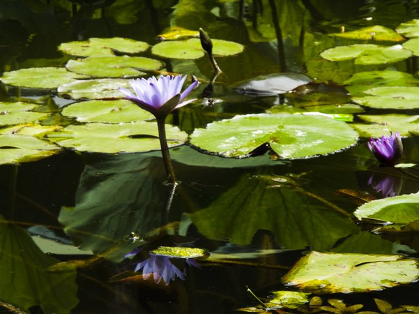A lily and its reflection thumbnail