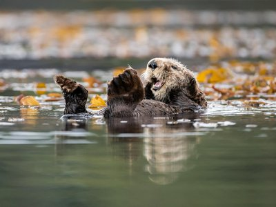 A sea otter grooms its dense fur while resting in a kelp bed off the west coast of Vancouver Island, BC, Canada.