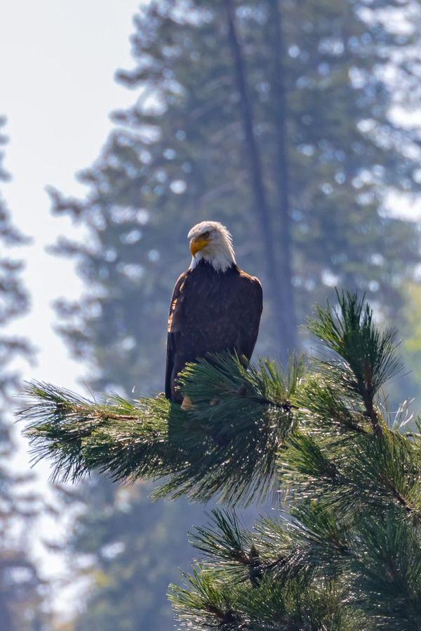 Bald Eagle Coeur d'Alene Idaho thumbnail