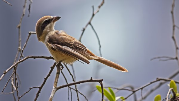 Brown Shrike thumbnail
