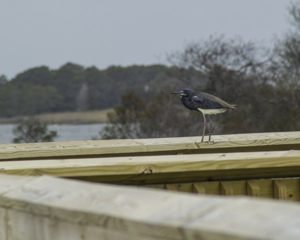 Blue Heron taking a break on the observation deck thumbnail