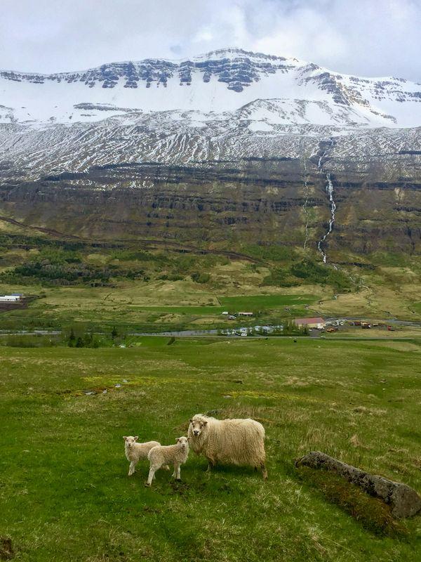 Lambs and Mother Sheep near Seydisfjordur thumbnail