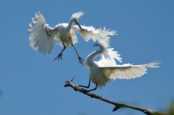 Two Snowy Egrets thumbnail