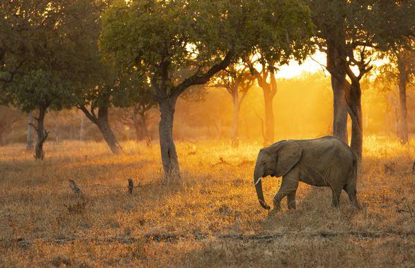 Elephant walking across the woods during sunrise thumbnail