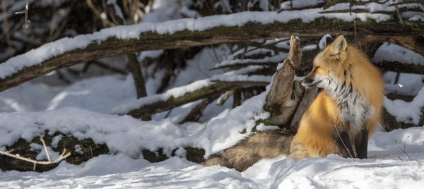 Snow Fox thumbnail