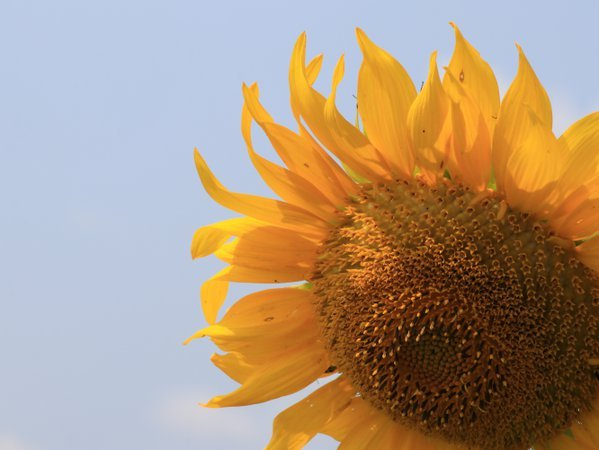 Up close with a sunflower, at Schoolhouse Farms in Rockford Ohio thumbnail