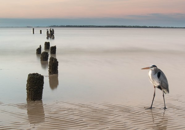 A Walk on the Beach with a Great Blue Heron thumbnail