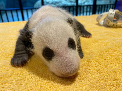 The Zoo's one-month-old giant panda cub had its first veterinary exam over the weekend. Get the scoop from Laurie Thompson, assistant curator of giant pandas.