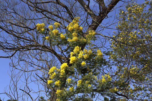 The mimosa flowering season  thumbnail