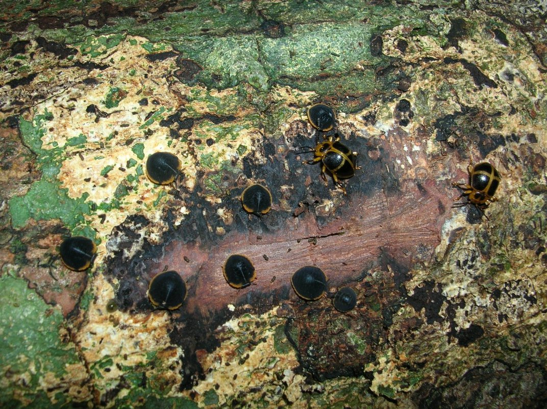 Black beetles on a fallen tree covered in fungus