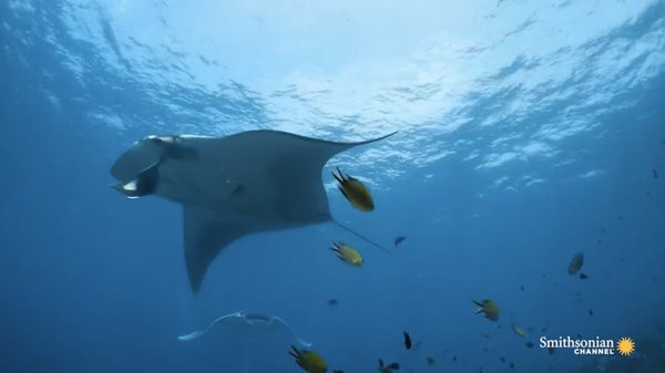 Preview thumbnail for Meet the Majestic Giant Manta Ray