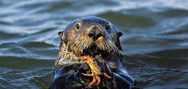 Sea otter feasting on crab