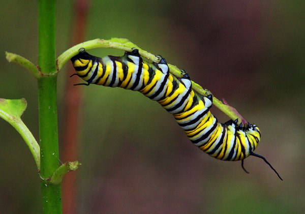 Monarch caterpillar feeding thumbnail
