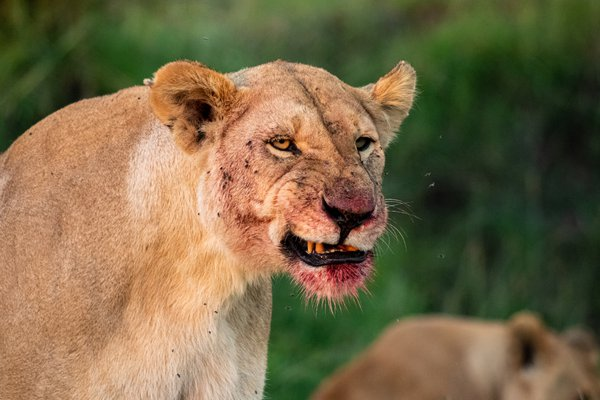 A lioness protects her feast thumbnail
