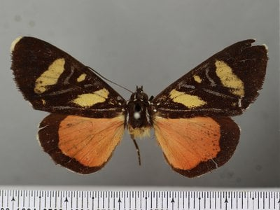 """This moth specimen was mistakenly identified as a butterfly in 1793, leaving biologists to wonder what happened to the missing """"butterfly"""" for more than 200 years."""