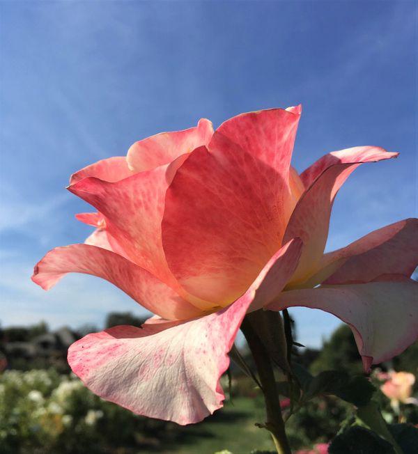 Rose at the San Jose Municipal Rose Garden thumbnail