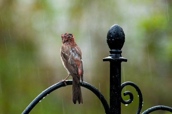 Male House Finch enjoying the rain thumbnail
