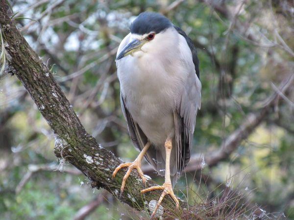 Black-crowned Night-Heron thumbnail