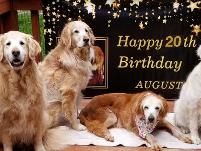 """Augie and her three golden retriever """"siblings"""" celebrate her 20th birthday in April"""
