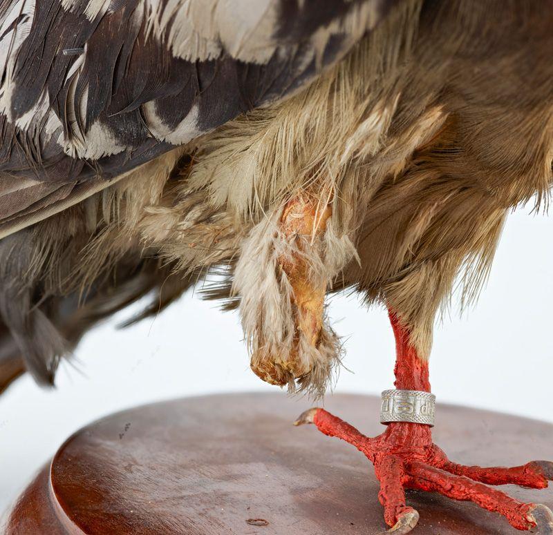 Close-up photo of pigeon's leg stump